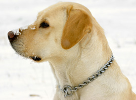 winter retriever1